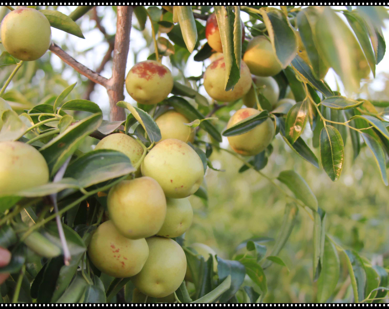 枣树是中国古老的果树,品类繁多,栽植历史悠久.