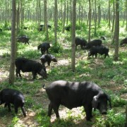 莱芜黑猪肉销售_莱芜黑猪,莱芜猪,鲁莱黑猪_山东省莱芜市莱芜猪原种场