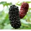 供应果桑,鲜果被称为第三代水果新秀