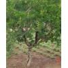 石榴苗木—石榴小树