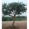 石榴苗木—石榴大树