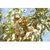 扁桃(巴旦木)