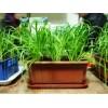獐子崮盆栽有机韭菜
