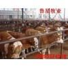 安徽巢湖附近养牛.肉牛犊.小公牛