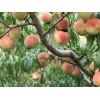 供应晚熟桃新品种