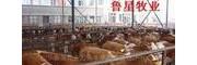 鲁西黄牛|西门塔尔牛|夏洛莱牛|利木赞牛