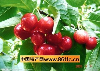 樱桃树根还具有很强的驱虫,杀虫作用,可驱杀蛔虫,蛲虫,绦虫等.