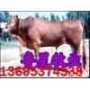鲁西黄牛价格.鲁西黄牛养殖技术视频