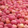 优质名牌苹果——鑫财牌红富士