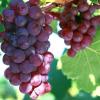 海阳红提葡萄