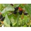 果桑苗,鲜果被称为第三代水果新秀