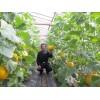 洋香瓜种植基地