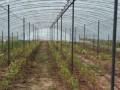 葡萄种植基地
