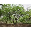 石榴苗木——石榴景观树