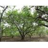 石榴苗木——石榴树
