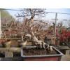石榴苗木——盆景