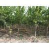 石榴苗木——幼树