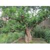 石榴景观树