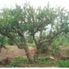 石榴苗木——大树