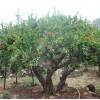 优质石榴景观树