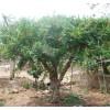 枣庄石榴苗木