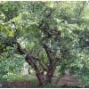 供应枣庄石榴苗木