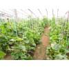 甜瓜种苗基地