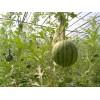 仁风西瓜 种植