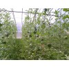 富硒西瓜 种植基地