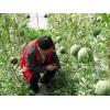 仁风西瓜 种植基地