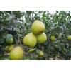 莱阳梨 种植基地