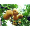 新高梨 种植基地