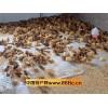 柴鸡苗孵化基地