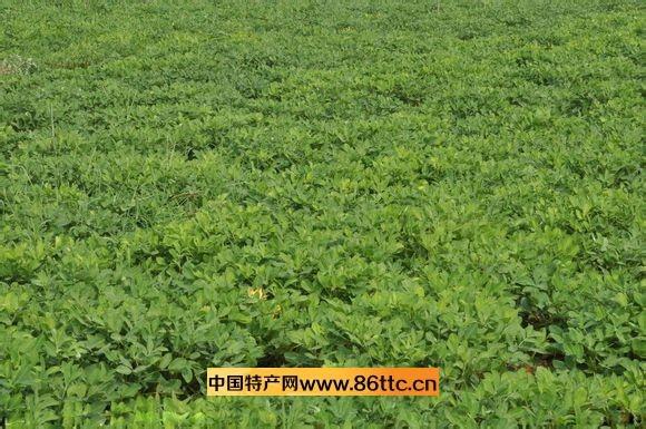 卤味花生——无公害花生的栽培技术