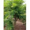 枣庄石榴苗供应