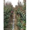山东紫薇苗种植
